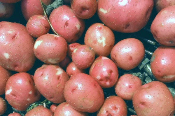 little red potatoes